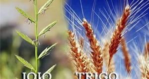 joio-trigo